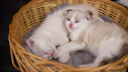 vime : Two cute cute kittens are sleeping in a wicker basket.Small cats scottish fold cuddle on a gray warm blanket.
