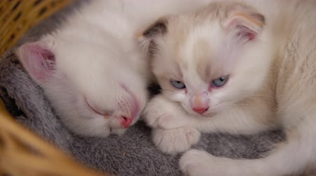 tlapky : Close up small cats scottish fold cuddle on a gray warm blanket.Two cute cute kittens are sleeping in a wicker basket. Dostupné videozáznamy