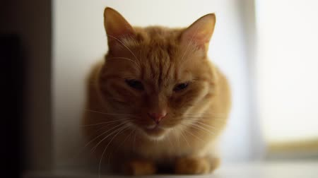 tlapky : Portrait of ginger cat on light windowsill. Red tomcat pet squints with pleasure next to the window.