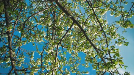 ébredés : Camera rotation around flowering branches of an apple tree on a blue sky. White delicate flowers and young green leaves are a symbol of the awakening of life in spring.