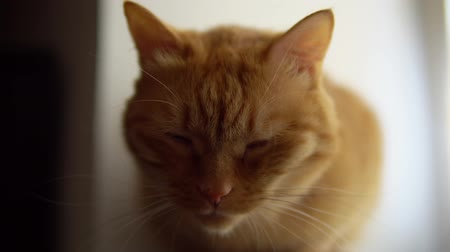 tlapky : Portrait of ginger cat sitting on window sill in handbags, red pet squints with pleasure, close up.