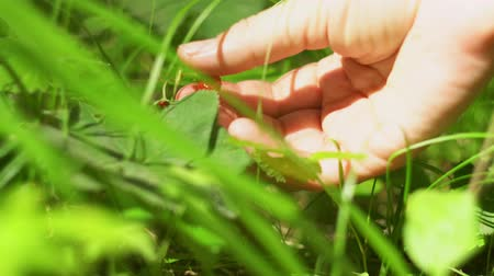 plucks : A close-up of the female hand plucks the wild ripe strawberries among the thick green grass on a sunny day.