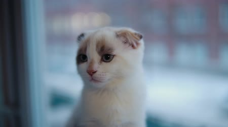 suíças : Portrait of a small Scottish fold kitten is sitting in the evening on a windowsill against the background of a window.