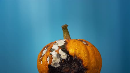 apodrecendo : Ugly orange pumpkin rotates on a blue background, rotten vegetable is covered with white and black mold fungi, a place for text.