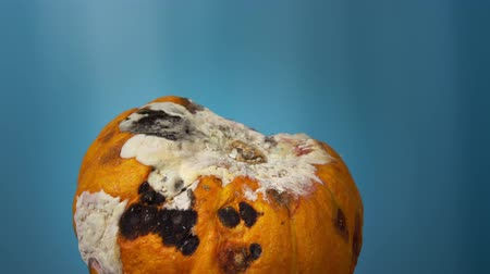 уродливый : An ugly putrid pumpkin rotates on a blue background, an orange vegetable is covered in rot and mold, copy space.