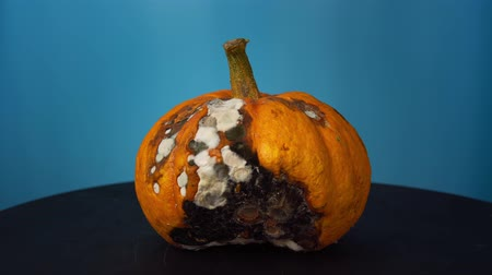 apodrecendo : An ugly rotten orange pumpkin covered in white and black mold fungi rotates on a black table on a blue background. Stock Footage