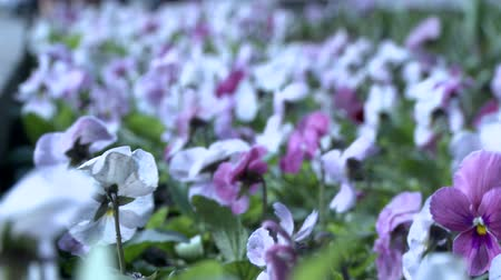 maceška : View of purple and white pansies in wind
