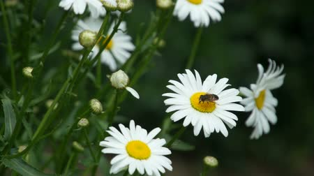маргарита : camomile flower with insects fly above