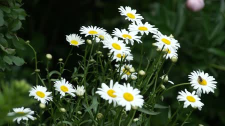 маргарита : camomile flower bloom in garden