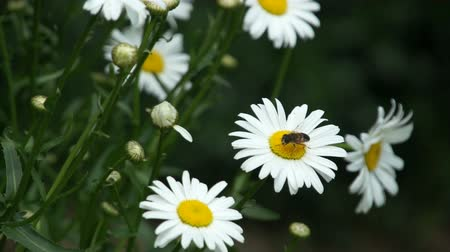 маргарита : camomile flower bloom with insects fly above Стоковые видеозаписи