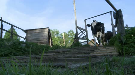 навес : Cows coming from the paddock to the pasture view
