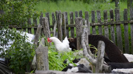 sheepfold : Chicken eating with sheep