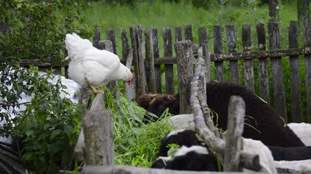sheepfold : Chicken watching sheep eating Stock Footage
