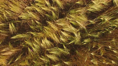 top view of a field of grain swaying under a strong wind. Wideo