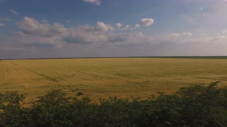 tahıllar : A beautiful Golden field of grain crops with flat rows under the blue sky with clouds.