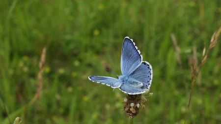 rovarok : Wild blue butterfly Polyommatus bellargus, endangered species, Central Moravia, Europe