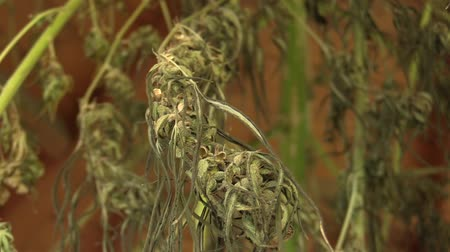 creams : Medicinal cannabis hemp harvested dried quality seeds for the production of ointments and creams developed by scientists, science modern trend Stock Footage