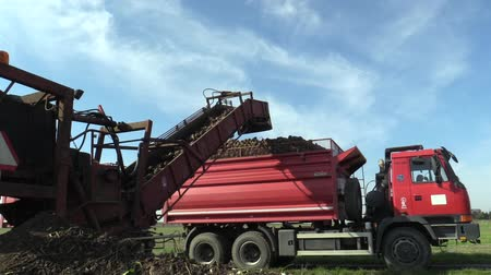 koníčky : OLOMOUC, CZECH REPUBLIC, OCTOBER 20, 2017: Harvesting sugar fresh beet Beta vulgaris in the field, loading conical tubers ripe, loader from a large pile plus sorting and removal truck to the warehouse Dostupné videozáznamy
