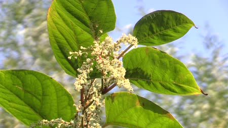 csökkenti a : Knotweed Reynoutria and Fallopia japonica, invasive and expansive species of dangerous plants, leaves and fruits in the background of blue sky, comes from Asia Japan, reduces the biodiversit