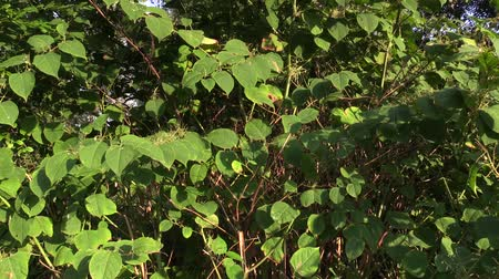 csökkenti a : Knotweed Reynoutria and Fallopia japonica, bushes and invasive and expansive species of dangerous large plants, leaves and fruits, reduces the biodiversity