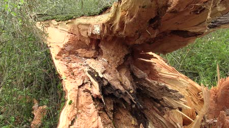 alba : White willow Salix alba attacked by wood-destroying insects, tree trunk very attacked woodworm by larvae, tree fell into the river, danger of injury, white satin moth Stock Footage