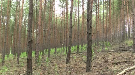 partially : Forest monoculture of pine Pinus sylvestris forest bark in the national nature reserve Vate pisky, expansive and partially invasive species, creates dominant society, extrudes other species of plants