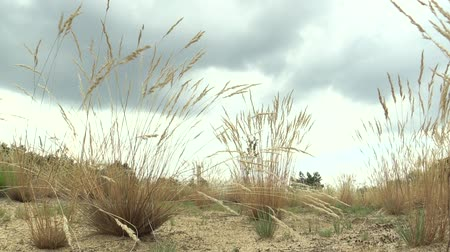 lowland : Area of a unique biotope community on open sandy sand on the northern edge of the Pannonian Lowland with a number of protected National Natural Monument of Vate Pisky, grass Festuca fescue Stock Footage