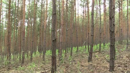 rezerv : Forest monoculture of pine Pinus sylvestris forest bark in the national nature reserve Vate pisky, expansive and partially invasive species, creates dominant society, extrudes other species of plants