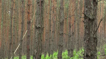 pinus : Forest monoculture of pine Pinus sylvestris forest bark in the national nature reserve Vate pisky, expansive and partially invasive species, creates dominant society, extrudes other species of plants