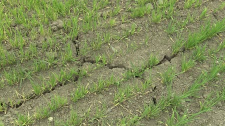 csehország : Very drought dry field land with wheat Triticum aestivum, drying up the soil cracked, climate change, environmental disaster and earth cracks, death for plants and animals, degradation