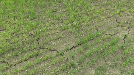křaplavý : Very drought dry field land with wheat Triticum aestivum, drying up the soil cracked, climate change, environmental disaster and earth cracks, death for plants and animals, degradation
