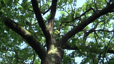 slept : A memorable tree named oak king, Quercus robur summer oak, 500 years old, a legend says that the Czech king Vaclav III slept here and decided that the tree would be protected, Europe