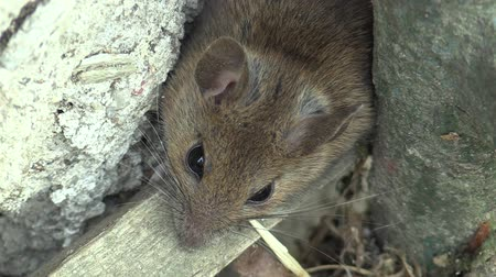 kept : Mouse home-made Mus musculus wild detail on a farmhouse in a pavement, is considered to be a pest, has black eyes, distinct ears, one of the most important model organisms and laboratory animals Stock Footage