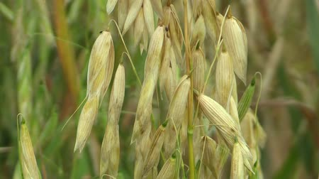 oat flakes : Fields with oat Avena sativa bio gold, grown extensively as grain, shot detail, livestock feed, food for healthy eating, such as oat flakes, sticks and mash. Horses it is most food, nutrient rich