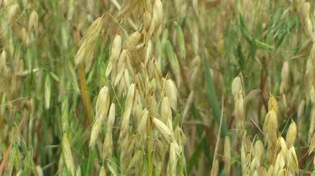 csehország : Fields with oat Avena sativa bio gold, grown extensively as grain, shot detail, livestock feed, food for healthy eating, such as oat flakes, sticks and mash. Horses it is most food, nutrient rich