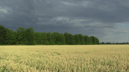 starch : Fields with oat Avena sativa bio gold, grown extensively as grain, beautiful Hana Landscape Of Countryside, shot detail, livestock feed, storm clouds and green trees in landscape, nutrient rich food Stock Footage