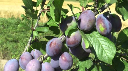 unripe : Plum Prunus domestica, variety Jojo, tree orchard homegrown, fruits ripen and unripe detail, wind in branches and leaves garden, beautiful landscape, fruits are for slivovitz plum liquor alcoholic