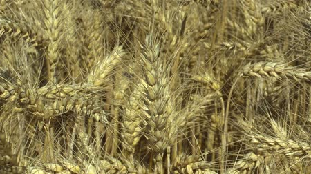 starch : Fields with wheat Triticum durum bio gold mature ear and class, pasta or macaroni wheat, grown extensively as grain harvest detail, livestock feed, food for healthy eating, such as pasta, semolina Stock Footage