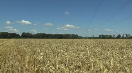 búzadara : Fields with wheat Triticum durum mature bio gold ear and class, pasta or macaroni wheat, grown extensively as grain harvest detail, blue sky with clouds and green trees, high voltage wires column Stock mozgókép