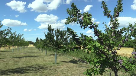 čeština : Plum Prunus domestica, variety Jojo, tree orchard homegrown, fruits ripen, blue sky with clouds and wind in branches and leaves garden, beautiful landscape Hana, fruits are for traditional slivovitz Dostupné videozáznamy