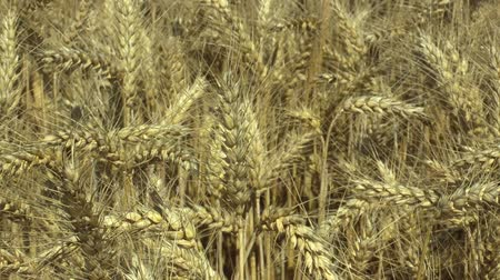 búzadara : Fields with wheat Triticum durum bio gold mature ear and class, pasta or macaroni wheat, grown extensively as grain harvest detail, livestock feed, food for healthy eating, such as pasta, semolina Stock mozgókép