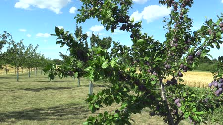 ripen : Plum Prunus domestica, variety Jojo, tree orchard homegrown, fruits ripen, blue sky with clouds and wind in branches and leaves garden, beautiful landscape Hana, fruits are for traditional slivovitz Stock Footage