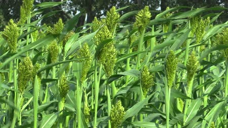 чад : Sorghum bicolor bio in the field of cereal crops, an agricultural plant green, grown as cereal flour production and for feed and technical purposes, much cultivation in India, Chad or Sudan