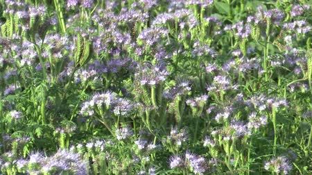 improve : Blue tansy or lacy Phacelia tanacetifolia farmed crops grown as fodder, green fertilizer and honeybee plant, used as a catch crop, suppress weeds and improve soil quality Stock Footage