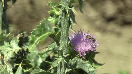 yabanarısı : Plant milk thistle Silybum marianum or cardus marianus healing herb, used in the pharmaceutical and folk healing and tincture industries, contains a variety of vitamins wasp insect pollinates a flower