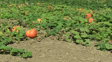 tykev : Field with organic pumpkin Cucurbita pepo bio crops before harvesting, orange gourds agriculture and farming, natural vegetables and excellent varieties, cultivated orange ball, creeping plant