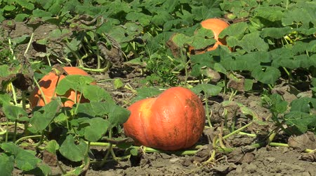 tykev : Field with organic pumpkin Cucurbita pepo bio crops before harvesting, orange gourds agriculture and farming, natural vegetables and excellent varieties, cultivated orange ball Europe