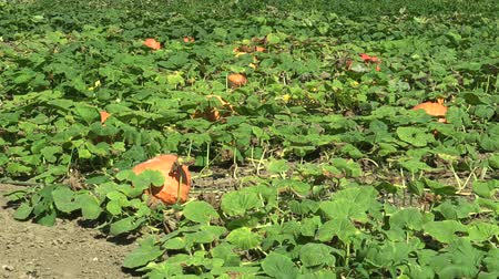 creeping : Field with organic pumpkin Cucurbita pepo bio crops before harvesting, orange gourds agriculture and farming, natural vegetables and excellent varieties, cultivated orange ball, creeping plant