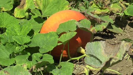 blight : Field with organic pumpkin Cucurbita pepo bio crops before harvesting, orange gourds agriculture and farming, natural vegetables and excellent varieties, cultivated orange ball, mold on leaves