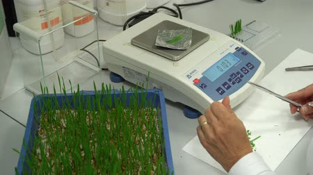 хлорофилл : OLOMOUC, CZECH REPUBLIC, OCTOBER 3, 2018: Scientific research laboratory of plant phytohormones, scientist science prepares samples of wheat Triticum and weighs and then adds to cytokinin solution Стоковые видеозаписи
